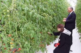 ICTで高糖度トマトを栽培 長万部町富野に植物工場が完成