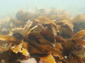 日本製鉄の鉄鋼スラグ 泊村の海藻再生に貢献