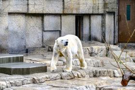 円山動物園のホッキョクグマ放飼場 バリアフリー化進む