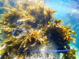 開発局が海藻のCO₂吸収に着目 釧路港や函館港で検討